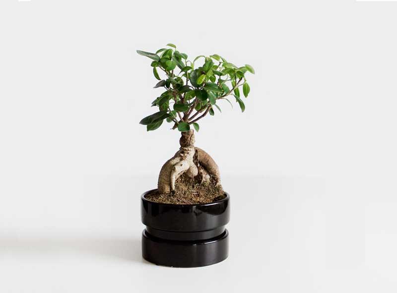 pianta-benessere-bonsai
